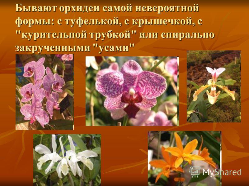 Бывают орхидеи самой невероятной формы: с туфелькой, с крышечкой, с курительной трубкой или спирально закрученными усами