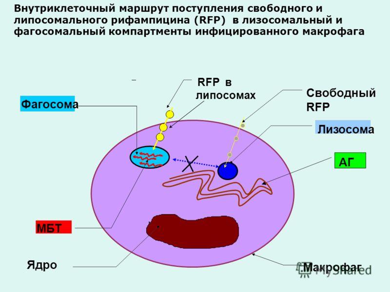 Ядро Лизосома Фагосома Макрофаг МБТ АГ RFP в липосомах Свободный RFP Внутриклеточный маршрут поступления свободного и липосомального рифампицина (RFP) в лизосомальный и фагосомальный компартменты инфицированного макрофага