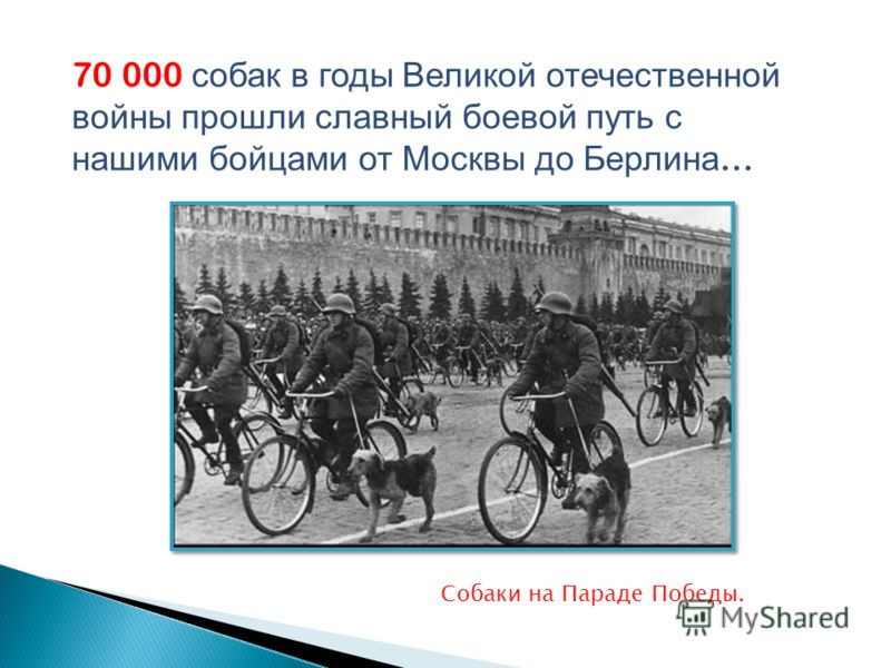 70 000 собак в годы Великой отечественной войны прошли славный боевой путь с нашими бойцами от Москвы до Берлина … Собаки на Параде Победы.