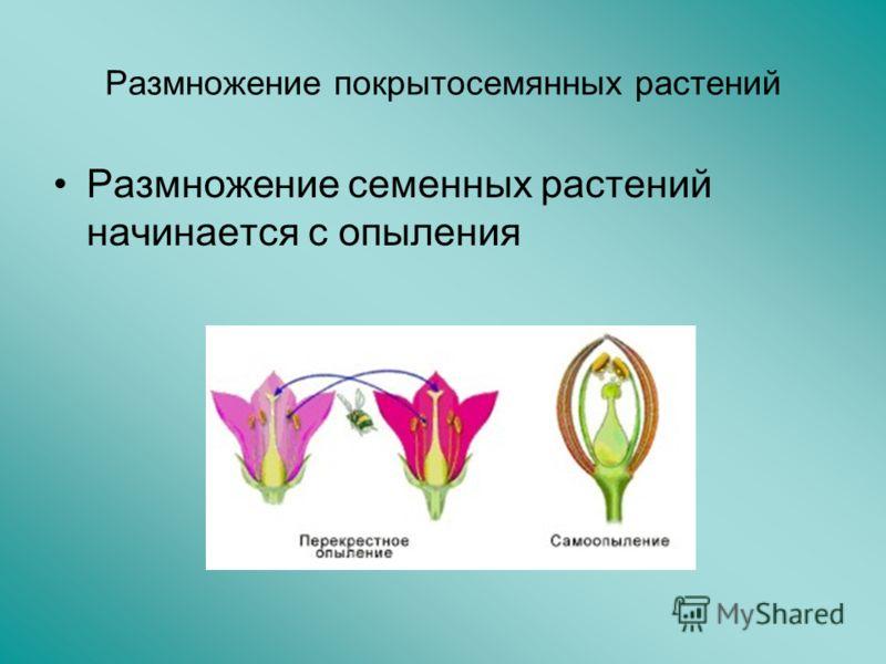 Размножение покрытосемянных растений Размножение семенных растений начинается с опыления