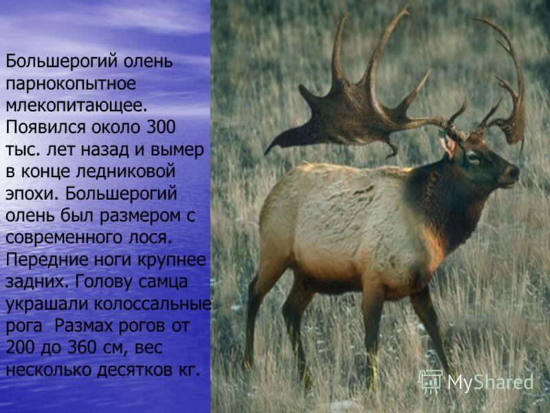 Большерогий олень парнокопытное млекопитающее. Появился около 300 тыс. лет назад и вымер в конце ледниковой эпохи. Большерогий олень был размером с современного лося. Передние ноги крупнее задних. Голову самца украшали колоссальные рога Размах рогов