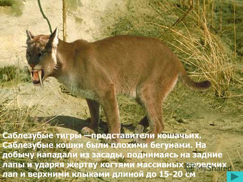 Саблезубые тигры представители кошачьих. Саблезубые кошки были плохими бегунами. На добычу нападали из засады, поднимаясь на задние лапы и ударяя жертву когтями массивных передних лап и верхними клыками длиной до 15-20 см