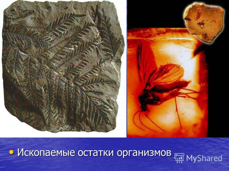 Ископаемые остатки организмов Ископаемые остатки организмов