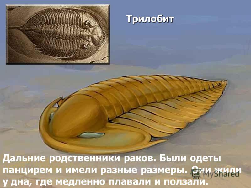 Трилобит Дальние родственники раков. Были одеты панцирем и имели разные размеры. Они жили у дна, где медленно плавали и ползали.