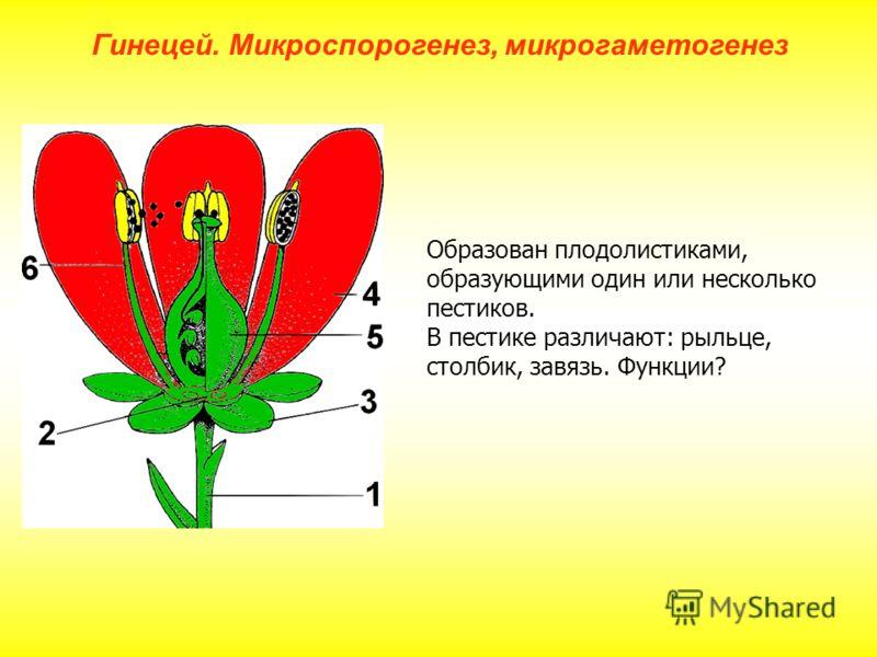 Образован плодолистиками, образующими один или несколько пестиков. В пестике различают: рыльце, столбик, завязь. Функции? Гинецей. Микроспорогенез, микрогаметогенез