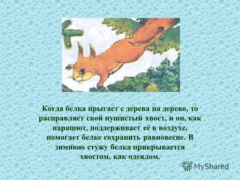 Когда белка прыгает с дерева на дерево, то расправляет свой пушистый хвост, и он, как парашют, поддерживает её в воздухе, помогает белке сохранить равновесие. В зимнюю стужу белка прикрывается хвостом, как одеялом.