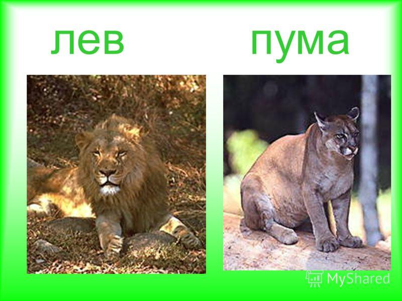 лев пума