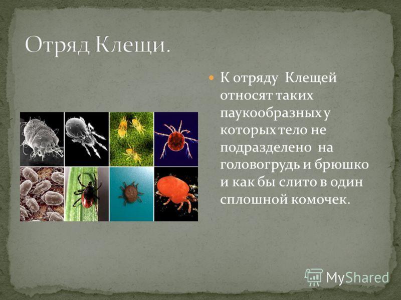 К отряду Клещей относят таких паукообразных у которых тело не подразделено на головогрудь и брюшко и как бы слито в один сплошной комочек.