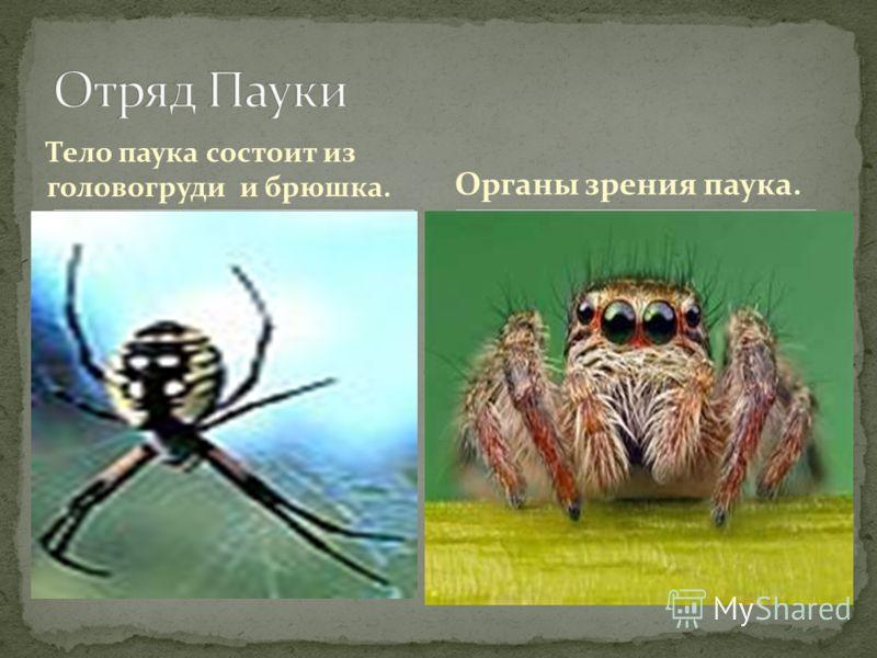 Тело паука состоит из головогруди и брюшка. Органы зрения паука.