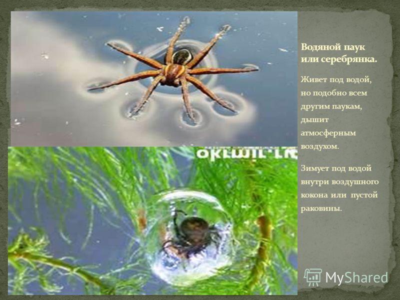Живет под водой, но подобно всем другим паукам, дышит атмосферным воздухом. Зимует под водой внутри воздушного кокона или пустой раковины.