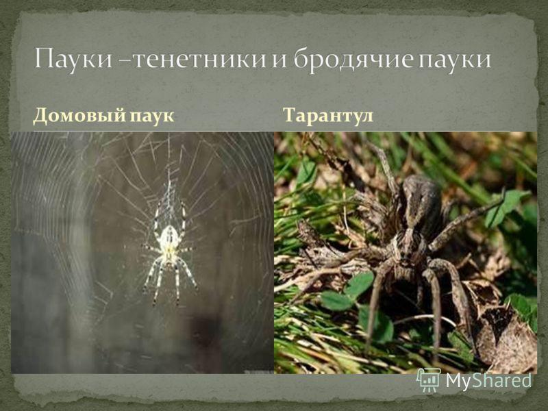Домовый паукТарантул