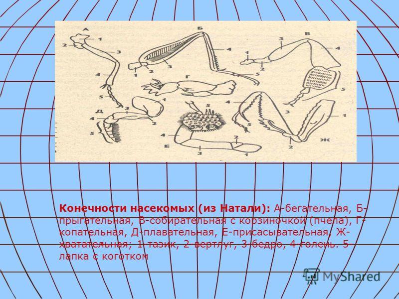 . Конечности насекомых (из Натали): А-бегательная, Б- прыгательная, В-собирательная с корзиночкой (пчела), Г- копательная, Д-плавательная, Е-присасывательная, Ж- хватательная; 1-тазик, 2-вертлуг, 3-бедро, 4-голень. 5- лапка с коготком