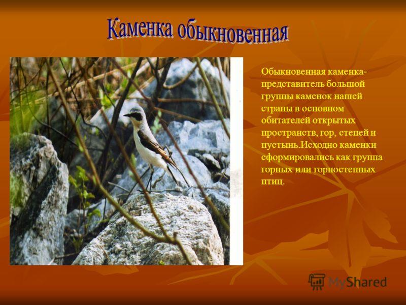 Обыкновенная каменка- представитель большой группы каменок нашей страны в основном обитателей открытых пространств, гор, степей и пустынь.Исходно каменки сформировались как группа горных или горностепных птиц.