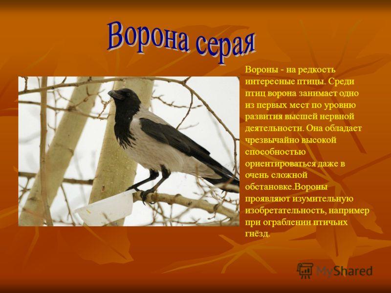 Вороны - на редкость интересные птицы. Среди птиц ворона занимает одно из первых мест по уровню развития высшей нервной деятельности. Она обладает чрезвычайно высокой способностью ориентироваться даже в очень сложной обстановке.Вороны проявляют изуми