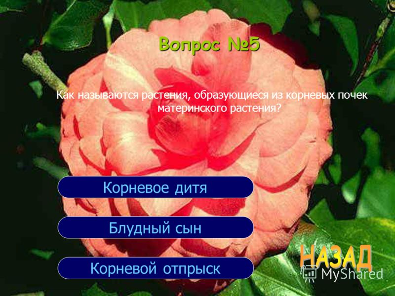 Вопрос 5 Как называются растения, образующиеся из корневых почек материнского растения? Корневой отпрыск Блудный сын Корневое дитя