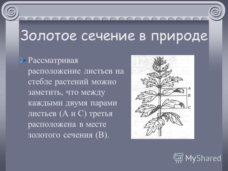 Золотое сечение в природе Рассматривая расположение листьев на стебле растений можно заметить, что между каждыми двумя парами листьев (А и С) третья расположена в месте золотого сечения (В).