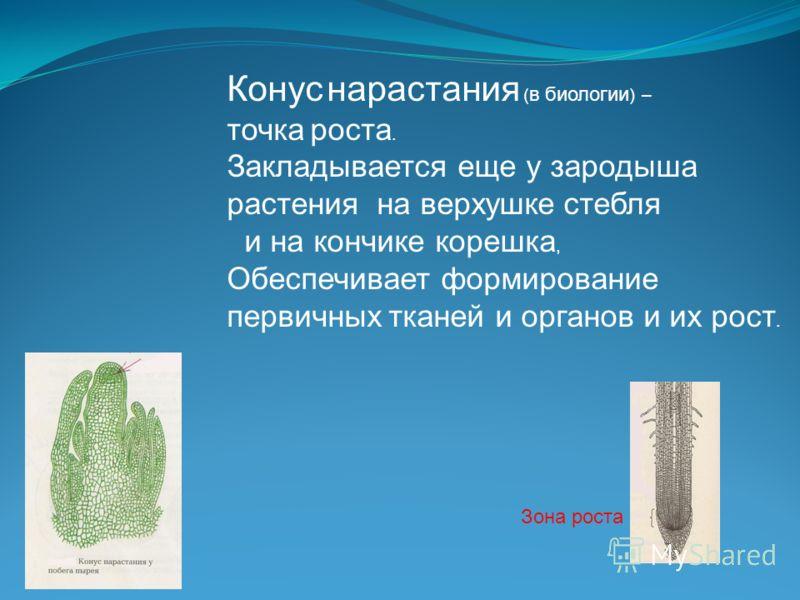 Конус нарастания ( в биологии ) – точка роста. Закладывается еще у зародыша растения на верхушке стебля и на кончике корешка, Обеспечивает формирование первичных тканей и органов и их рост. Зона роста