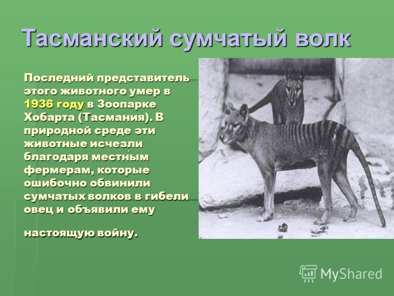 Последний представитель этого животного умер в 1936 году в Зоопарке Хобарта (Тасмания). В природной среде эти животные исчезли благодаря местным фермерам, которые ошибочно обвинили сумчатых волков в гибели овец и объявили ему настоящую войну.. Тасман