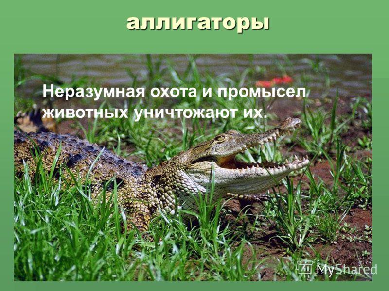 аллигаторы Неразумная охота и промысел животных уничтожают их.
