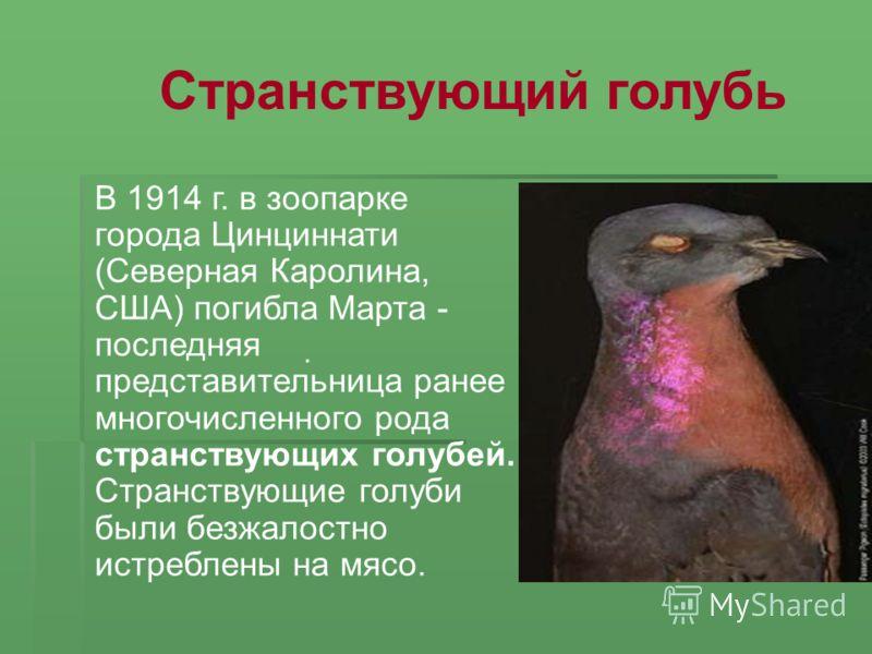 В 1914 г. в зоопарке города Цинциннати (Северная Каролина, США) погибла Марта - последняя представительница ранее многочисленного рода странствующих голубей. Странствующие голуби были безжалостно истреблены на мясо.. Странствующий голубь