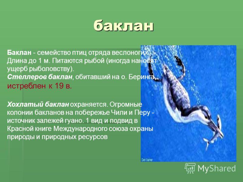 баклан Баклан - семейство птиц отряда веслоногих. Длина до 1 м. Питаются рыбой (иногда наносят ущерб рыболовству). Стеллеров баклан, обитавший на о. Беринга, истреблен к 19 в. Хохлатый баклан охраняется. Огромные колонии бакланов на побережье Чили и