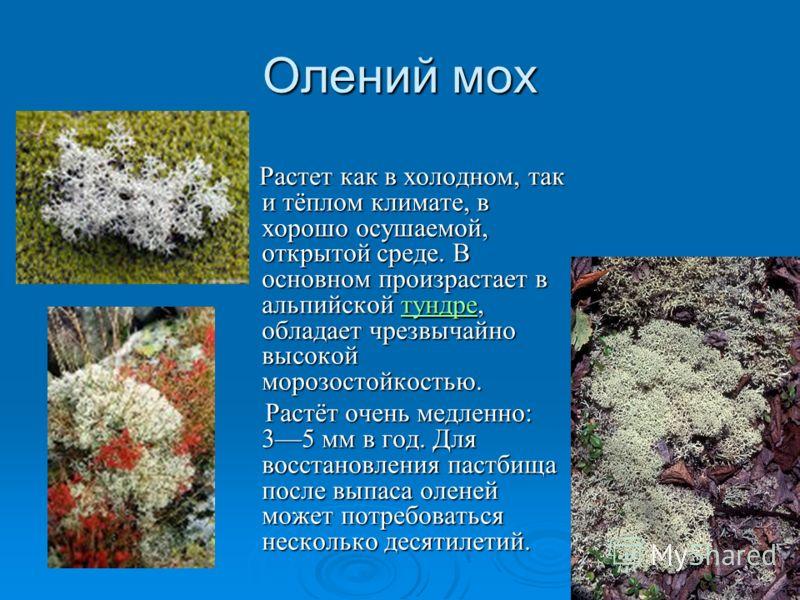 Олений мох Растет как в холодном, так и тёплом климате, в хорошо осушаемой, открытой среде. В основном произрастает в альпийской тундре, обладает чрезвычайно высокой морозостойкостью. Растет как в холодном, так и тёплом климате, в хорошо осушаемой, о