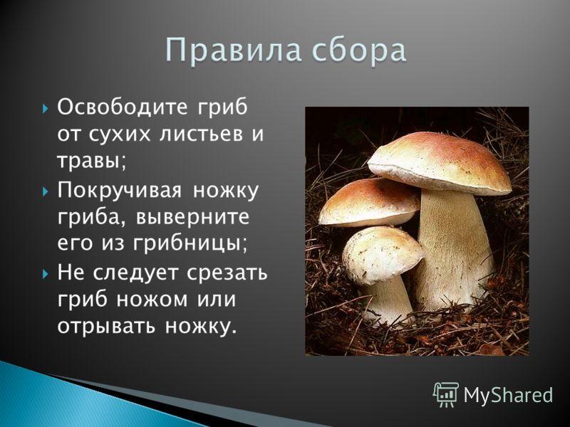 Освободите гриб от сухих листьев и травы; Покручивая ножку гриба, выверните его из грибницы; Не следует срезать гриб ножом или отрывать ножку.