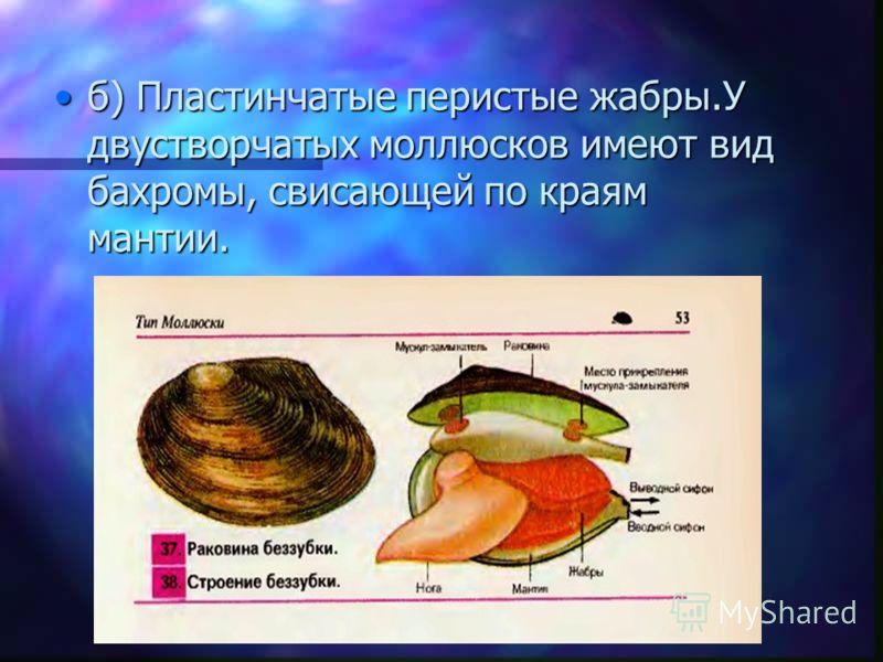 б) Пластинчатые перистые жабры.У двустворчатых моллюсков имеют вид бахромы, свисающей по краям мантии.б) Пластинчатые перистые жабры.У двустворчатых моллюсков имеют вид бахромы, свисающей по краям мантии.