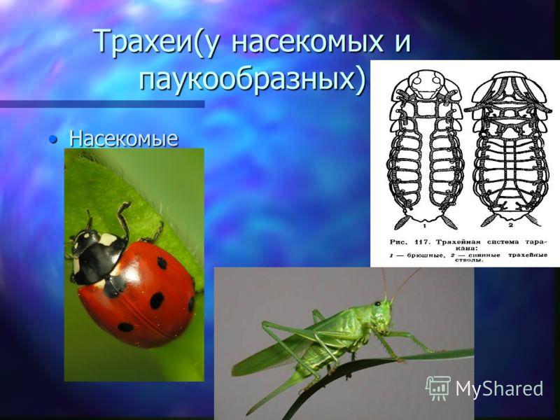 Трахеи(у насекомых и паукообразных) НасекомыеНасекомые