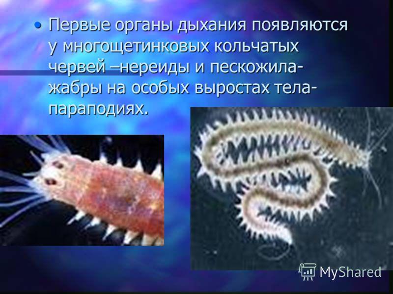 Первые органы дыхания появляются у многощетинковых кольчатых червей –нереиды и пескожила- жабры на особых выростах тела- параподиях.Первые органы дыхания появляются у многощетинковых кольчатых червей –нереиды и пескожила- жабры на особых выростах тел