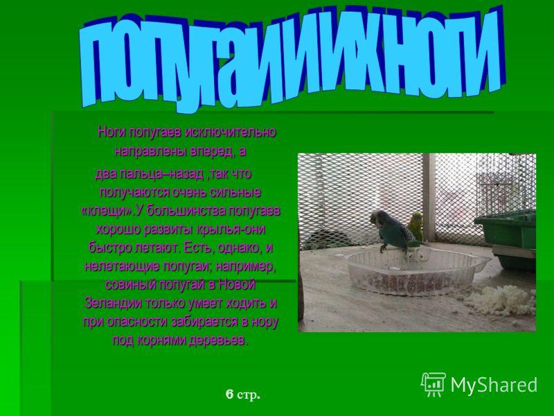 Ноги попугаев исключительно направлены вперед, а Ноги попугаев исключительно направлены вперед, а два пальца–назад,так что получаются очень сильные «клещи».У большинства попугаев хорошо развиты крылья-они быстро летают. Есть, однако, и нелетающие поп