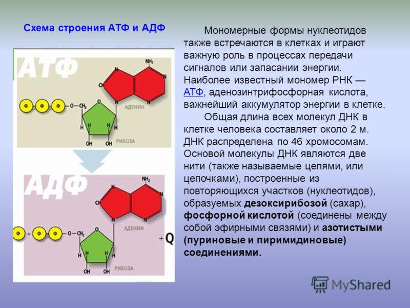 Мономерные формы нуклеотидов также встречаются в клетках и играют важную роль в процессах передачи сигналов или запасании энергии. Наиболее известный мономер РНК АТФ, аденозинтрифосфорная кислота, важнейший аккумулятор энергии в клетке. АТФ Общая дли