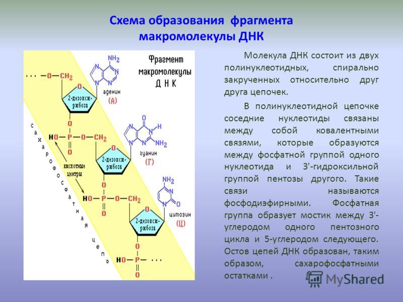 Схема образования фрагмента макромолекулы ДНК Молекула ДНК состоит из двух полинуклеотидных, спирально закрученных относительно друг друга цепочек. В полинуклеотидной цепочке соседние нуклеотиды связаны между собой ковалентными связями, которые образ