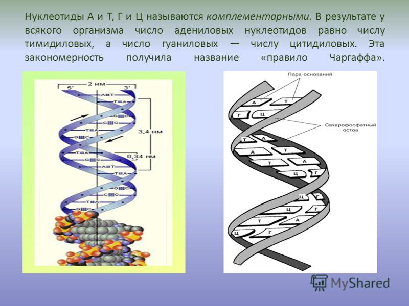 Нуклеотиды А и Т, Г и Ц называются комплементарными. В результате у всякого организма число адениловых нуклеотидов равно числу тимидиловых, а число гуаниловых числу цитидиловых. Эта закономерность получила название «правило Чаргаффа».