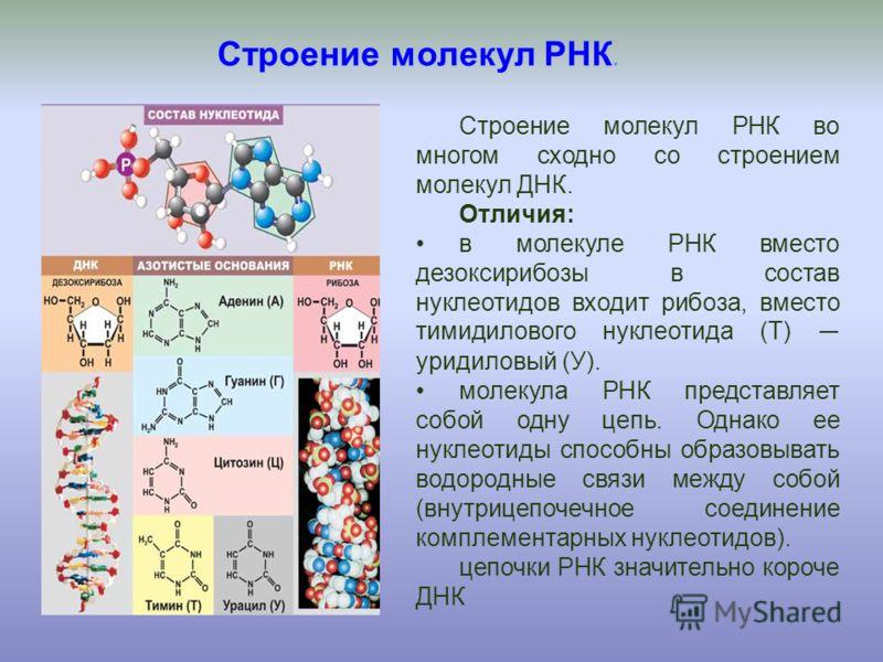 Строение молекул РНК. Строение молекул РНК во многом сходно со строением молекул ДНК. Отличия: в молекуле РНК вместо дезоксирибозы в состав нуклеотидов входит рибоза, вместо тимидилового нуклеотида (Т) уридиловый (У). молекула РНК представляет собой
