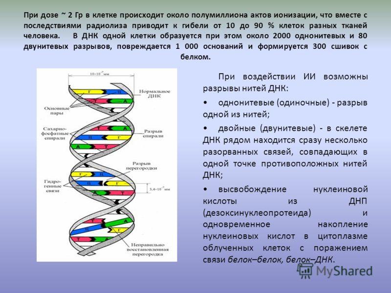 При дозе ~ 2 Гр в клетке происходит около полумиллиона актов ионизации, что вместе с последствиями радиолиза приводит к гибели от 10 до 90 % клеток разных тканей человека. В ДНК одной клетки образуется при этом около 2000 однонитевых и 80 двунитевых