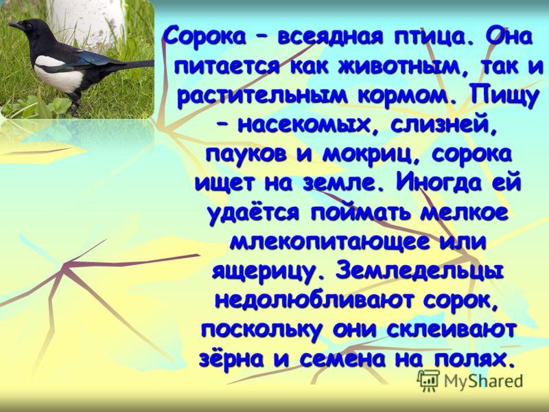 Сорока – всеядная птица. Она питается как животным, так и растительным кормом. Пищу – насекомых, слизней, пауков и мокриц, сорока ищет на земле. Иногда ей удаётся поймать мелкое млекопитающее или ящерицу. Земледельцы недолюбливают сорок, поскольку он