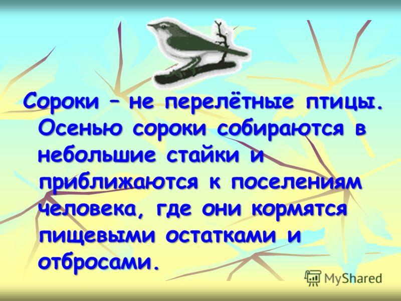 Сороки – не перелётные птицы. Осенью сороки собираются в небольшие стайки и приближаются к поселениям человека, где они кормятся пищевыми остатками и отбросами.