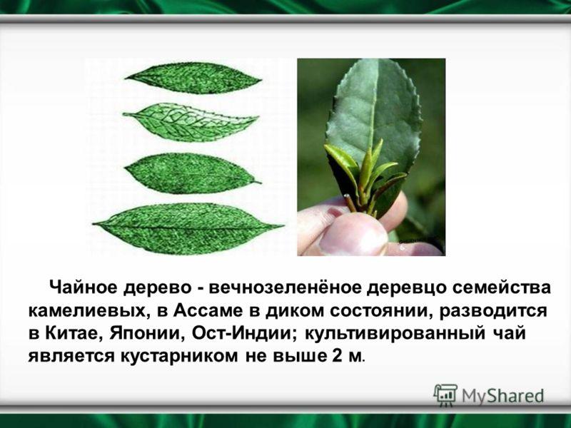 Чайное дерево - вечнозеленёное деревцо семейства камелиевых, в Ассаме в диком состоянии, разводится в Китае, Японии, Ост-Индии; культивированный чай является кустарником не выше 2 м.