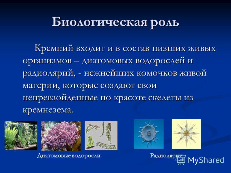 Биологическая роль Кремний входит и в состав низших живых организмов – диатомовых водорослей и радиолярий, - нежнейших комочков живой материи, которые создают свои непревзойденные по красоте скелеты из кремнезема. Кремний входит и в состав низших жив