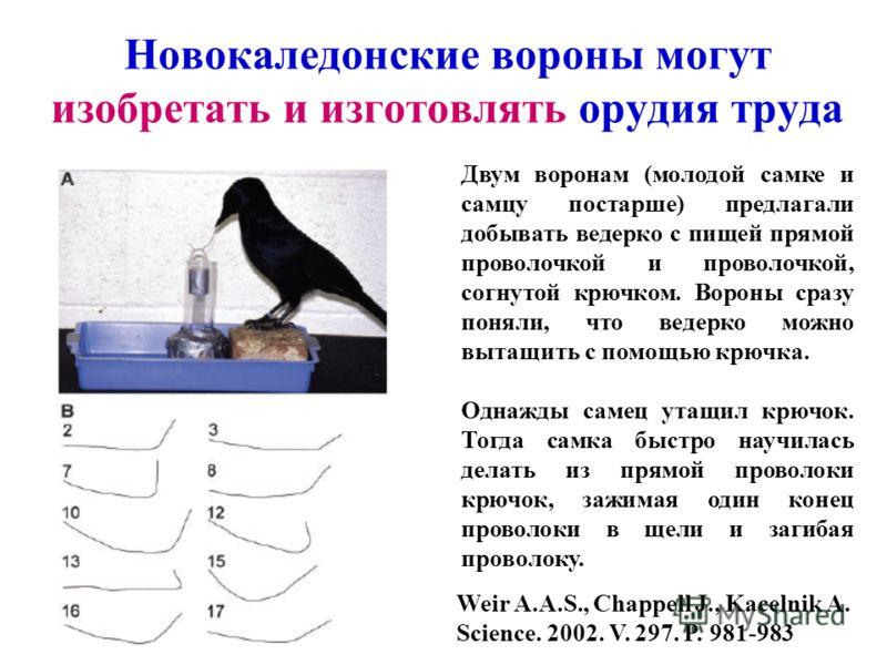 Новокаледонские вороны могут изобретать и изготовлять орудия труда Weir A.A.S., Chappell J., Kacelnik A. Science. 2002. V. 297. P. 981-983 Двум воронам (молодой самке и самцу постарше) предлагали добывать ведерко с пищей прямой проволочкой и проволоч