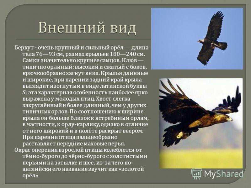 Беркут - очень крупный и сильный орёл длина тела 7693 см, размах крыльев 180240 см. Самки значительно крупнее самцов. Клюв типично орлиный : высокий и сжатый с боков, крючкообразно загнут вниз. Крылья длинные и широкие, при парении задний край крыла