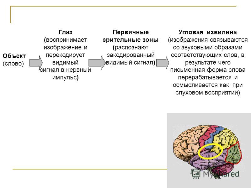 Первичные зрительные зоны (распознают закодированный видимый сигнал) Объект (слово) Глаз (воспринимает изображение и перекодирует видимый сигнал в нервный импульс) Угловая извилина (изображения связываются со звуковыми образами соответствующих слов,