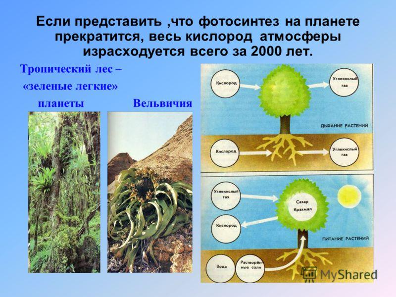 Если представить,что фотосинтез на планете прекратится, весь кислород атмосферы израсходуется всего за 2000 лет. Тропический лес – «зеленые легкие» планеты Вельвичия