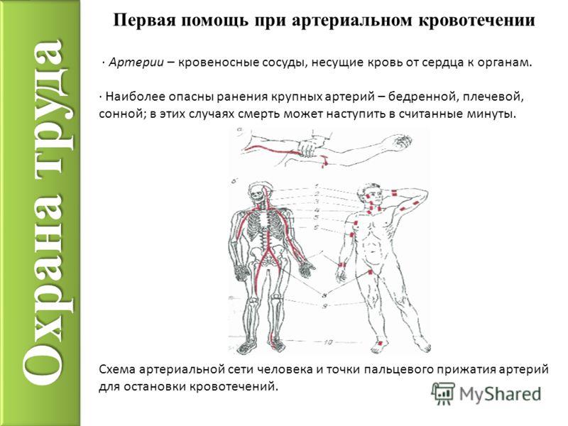 Охрана труда · Артерии – кровеносные сосуды, несущие кровь от сердца к органам. · Наиболее опасны ранения крупных артерий – бедренной, плечевой, сонной; в этих случаях смерть может наступить в считанные минуты. Схема артериальной сети человека и точк