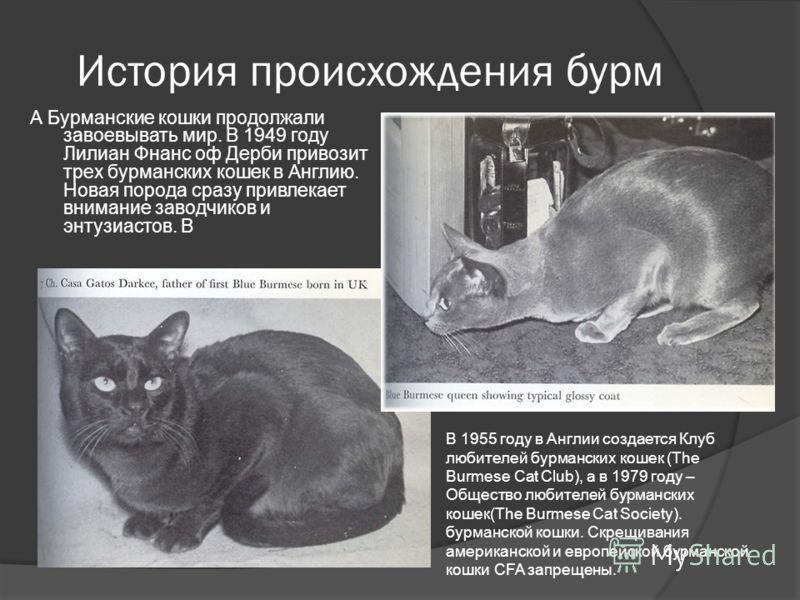 История происхождения бурм А Бурманские кошки продолжали завоевывать мир. В 1949 году Лилиан Фнанс оф Дерби привозит трех бурманских кошек в Англию. Новая порода сразу привлекает внимание заводчиков и энтузиастов. В В 1955 году в Англии создается Клу