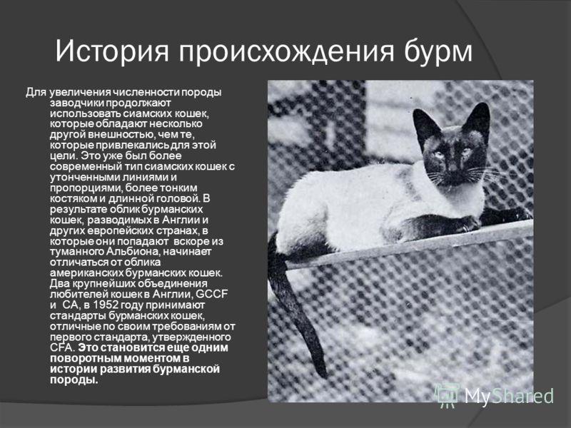 История происхождения бурм Для увеличения численности породы заводчики продолжают использовать сиамских кошек, которые обладают несколько другой внешностью, чем те, которые привлекались для этой цели. Это уже был более современный тип сиамских кошек