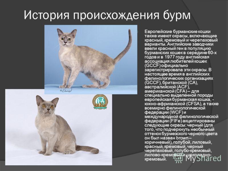 История происхождения бурм Европейские бурманские кошки также имеют окрасы, включающие красный, кремовый и черепаховый варианты. Английские заводчики ввели красный ген в популяцию бурманских кошек в середине 60-х годов и в 1977 году английская ассоци