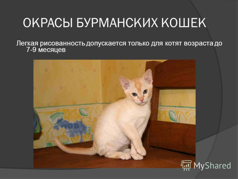 ОКРАСЫ БУРМАНСКИХ КОШЕК Легкая рисованность допускается только для котят возраста до 7-9 месяцев