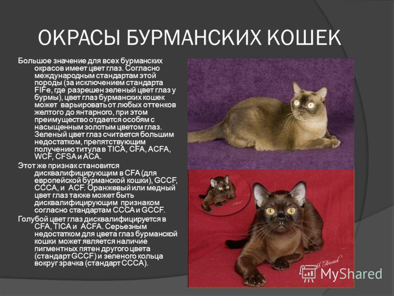 ОКРАСЫ БУРМАНСКИХ КОШЕК Большое значение для всех бурманских окрасов имеет цвет глаз. Согласно международным стандартам этой породы (за исключением стандарта FIFe, где разрешен зеленый цвет глаз у бурмы), цвет глаз бурманских кошек может варьировать